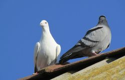 Home pigeons on the roof. stock photo