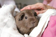 home pigrest för guinea Royaltyfri Fotografi