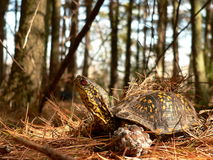 At home in the Pine Forest. Box Turtle in the Forest Stock Photo