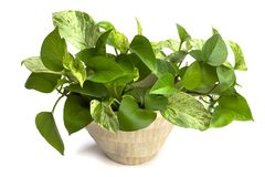 Home plant Royalty Free Stock Image