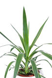 Home plant. House decorative plant isolated on white Stock Photos