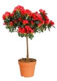 Home plant azalea Stock Photography