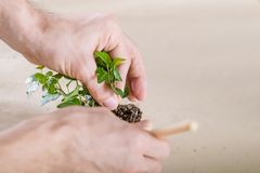 Home plant care hobby replanting close up. Home plant care. Hobby concept. Hands replanting close up royalty free stock images