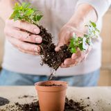Home plant care stress relief hobby replanting. Home plant care. Stress relief hobby. Man engaged in replanting royalty free stock photo