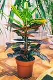Home plant Croton in a pot Stock Photography