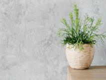 Home plant decor design flowerpot houseplant. Home plant decor. Design concept. Flowerpot with houseplant. Copy space on grey background stock images
