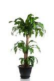 Home plant in flowerpot. Dracaena Massangeana royalty free stock image