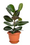 Home plant in flowerpot. Isolate on white stock images