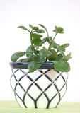Home plant in flowerpot. Royalty Free Stock Images