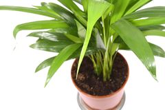 Home plant in flowerpot. Isola Stock Photos