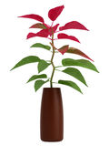 Home plant with green and red leaves Stock Photography