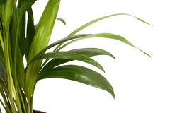 Free Home Plant In Flowerpot. Isola Stock Photos - 3416073