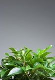 Home plant leaves  Stock Photography