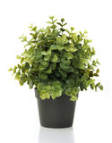 Home plant in pot. On white background royalty free stock image