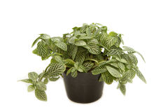 Home plant in pot Royalty Free Stock Images