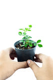 Home plant in pot with hand holding Stock Image