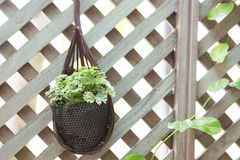 Home plant in pot. Hanging on wooden partision Stock Images