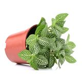 Home plant in pot. On the white background royalty free stock photo