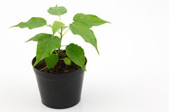 Home plant in pot isolated and white background Stock Photo