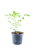 Home plant in pot Stock Photography