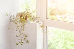 Home plant in pot near window in bright rays of spring sun.  Royalty Free Stock Images