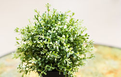 Home plant in pot. On the table Stock Photos