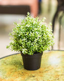 Home plant in pot. On the table Royalty Free Stock Photo