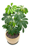 Home plant in a pot Royalty Free Stock Images