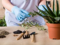 Home plant seedlings care stress relief hobby. Home plant care. Stress relief hobby. Hands in rubber gloves organizing seedlings and garden equipment royalty free stock photos