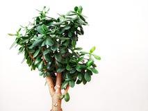 Old Crassula trees royalty free stock image