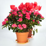 Home plants group (azalea, Cyclamen) Stock Photography