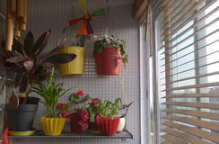 Home Plants by the Window, Sunny Interior, Sunset, Apartment. Several ornamentals species on a shelf near a window, as cyclamen persicum, maranta leuconeura Stock Image