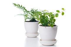 Home Plants With Green Leaves Royalty Free Stock Images