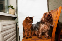 Home portrait of cat and dog. Home portrait of somali cat and yorkshire terrier sitting on chair Royalty Free Stock Image