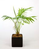 Home pot plant. A home pot plant named a Chamaedorea stock images