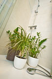 Home pot plants watering under shower Royalty Free Stock Photos