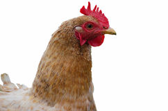 Home poultry chickens grazing and walking outdoors Royalty Free Stock Photography