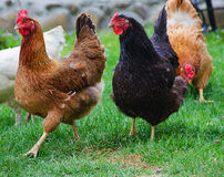 Home poultry chickens grazing and walking outdoors Royalty Free Stock Images