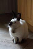Home rabbit. Californian female rabbit in the kitchen royalty free stock photo