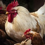 Home raised barnyard chickens Stock Images
