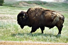 HOME ON THE RANGE. A mature bull buffalo shedding his winter coat. It is spring time in the bad lands of South Dakota. The large bulls are loners at this time of stock photography