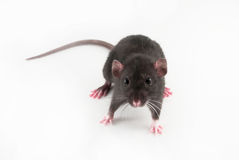 home rat Royalty Free Stock Photo