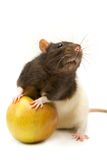 Home rat with apple Royalty Free Stock Image