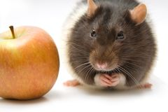 Home rat with apple Royalty Free Stock Photo