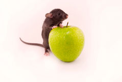Home rat apples Stock Photo