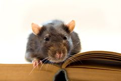 Home rat on the book stock photo