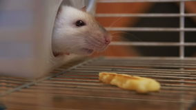 Home rat in a cage looks out of a plastic house in Slow Motion stock video footage