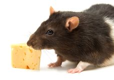 Home rat with the cheese Stock Photos