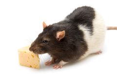 Home rat with cheese Stock Image