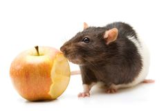 Home rat eating apple Stock Photo